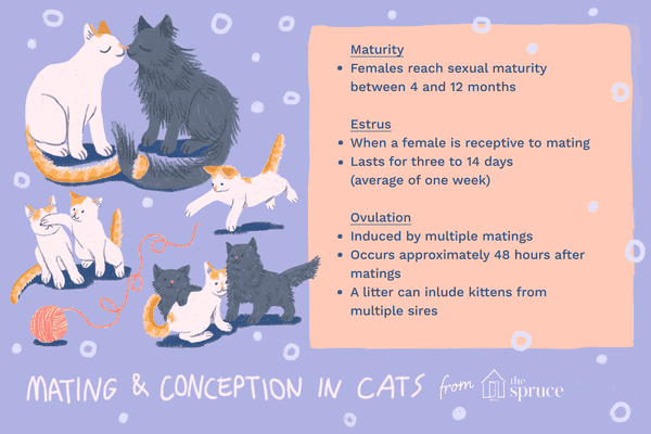 Illustration on facts about cat reproduction