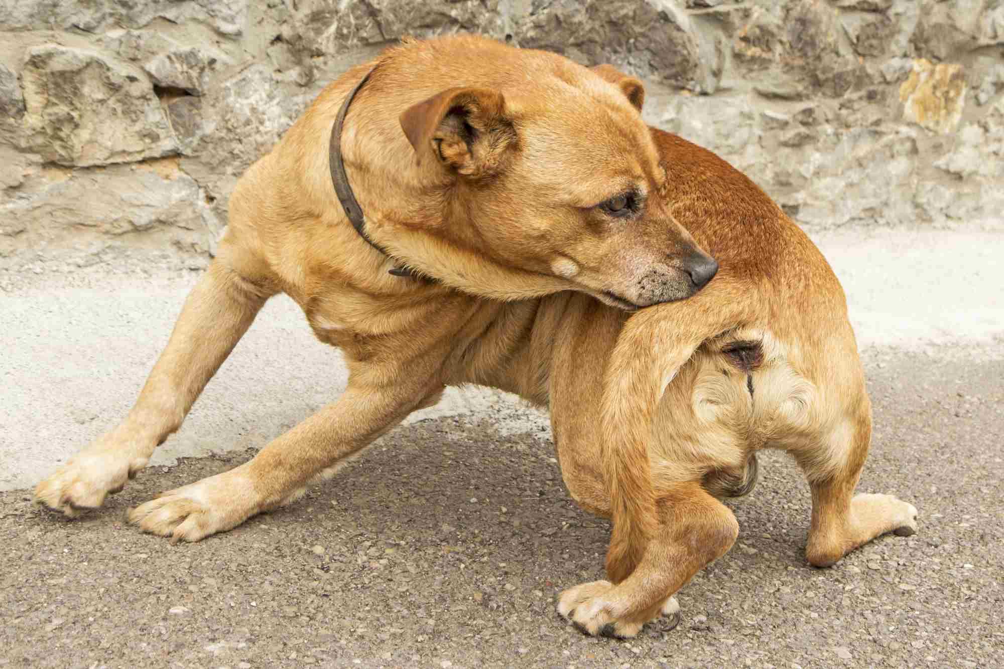 Perro con picazón