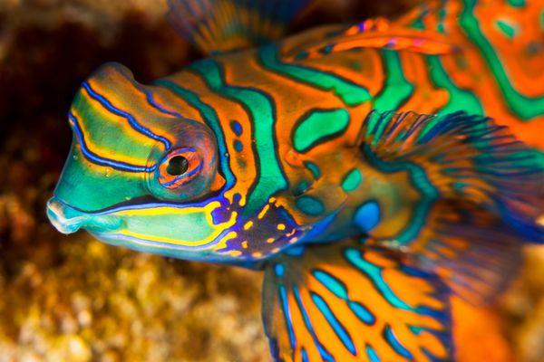 Portrait of Mandarin Fish Synchiropus splendidus, Banda Neira Island, Indonesia