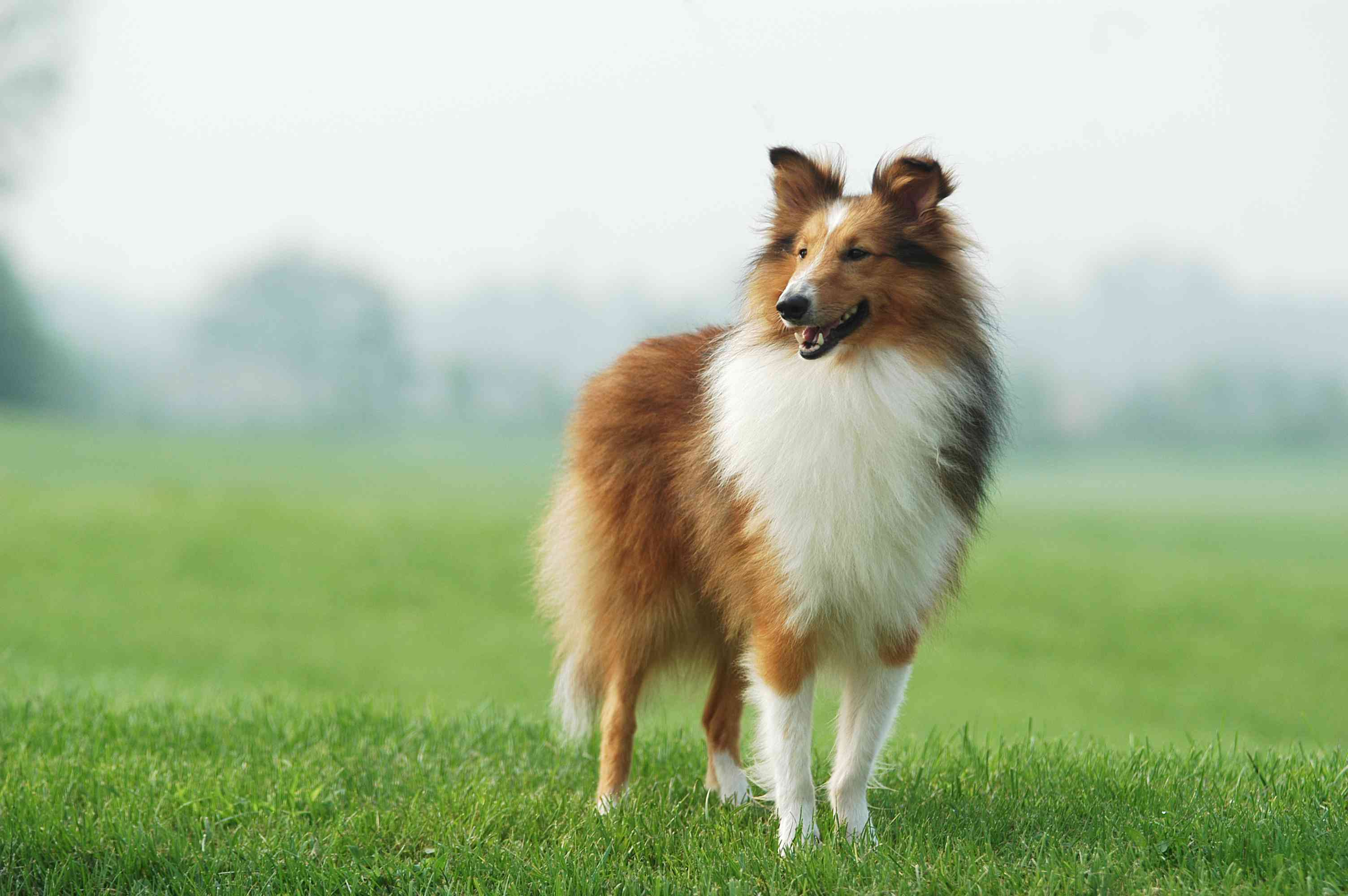 A longhaired collie dog standing in a misty field