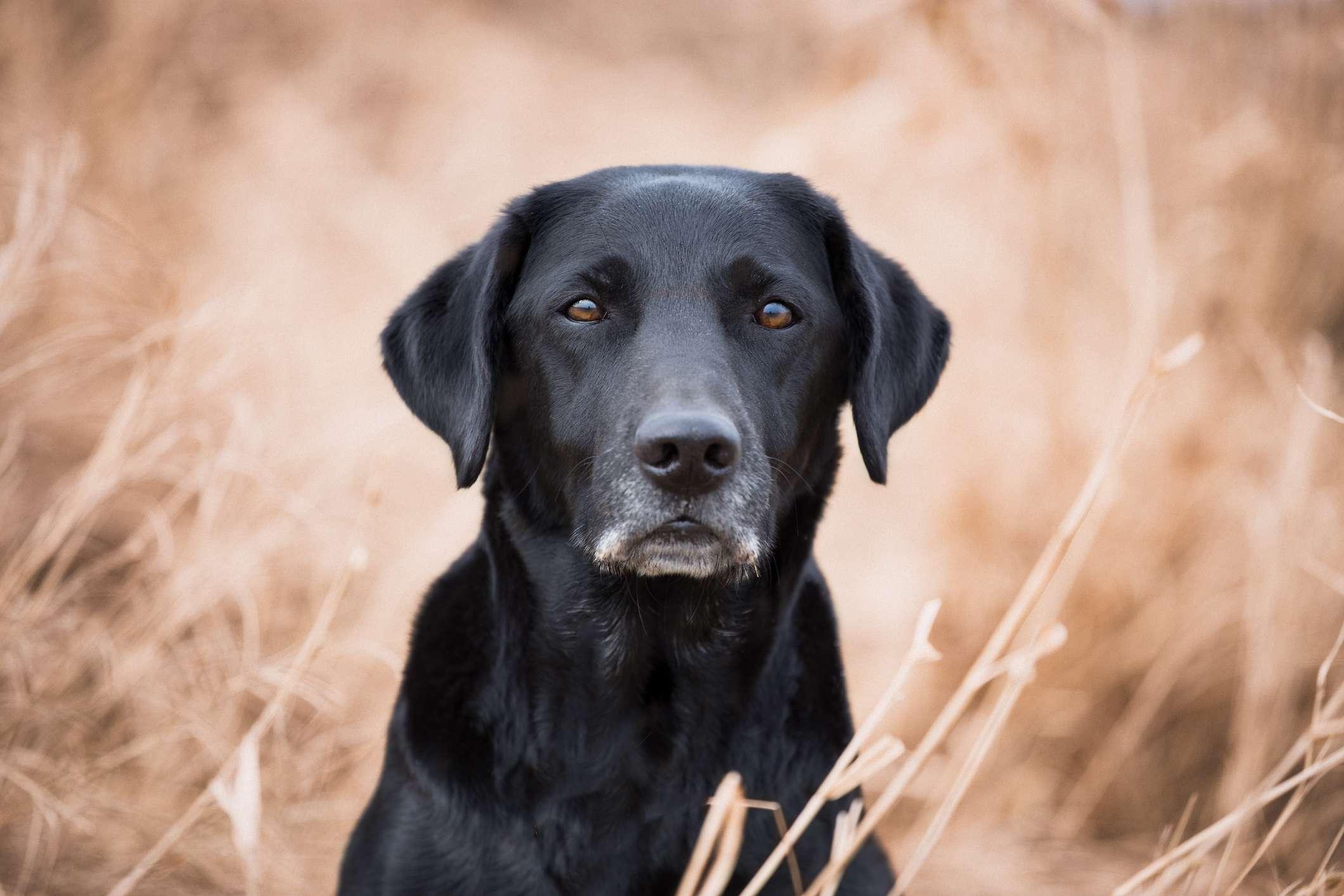 Black Labrador retriever sitting in dried grass