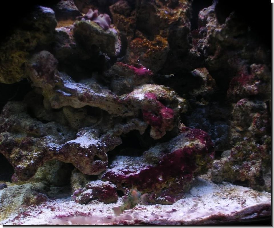 Red Slime Coating Live Rock in Fish Tank