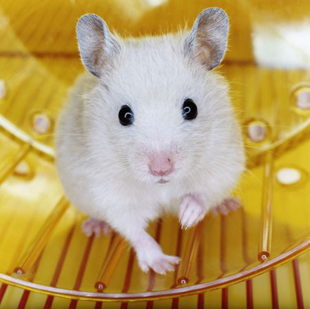Spaying and Neutering Hamsters