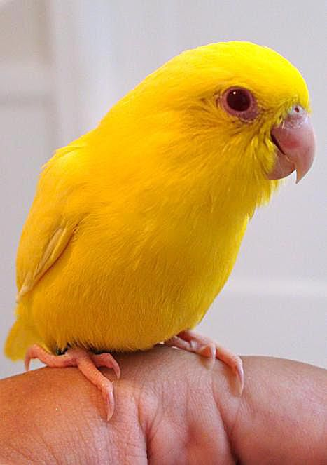 yellow parrotlet