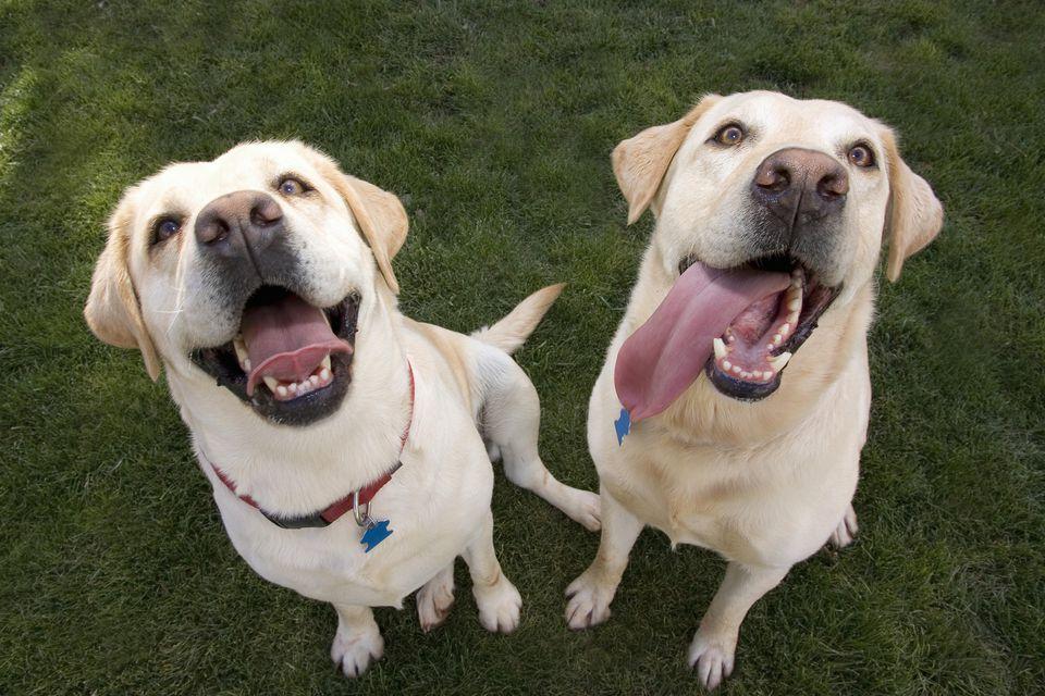 panting labrador retriever dogs