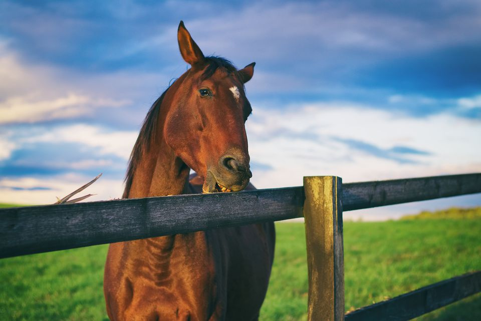 caballo masticando madera