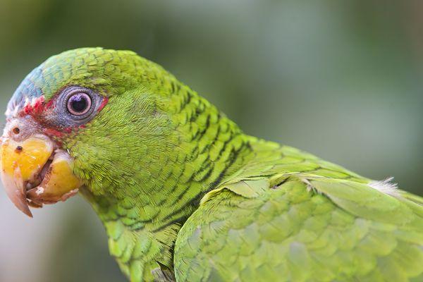 White-fronted Amazon parrot