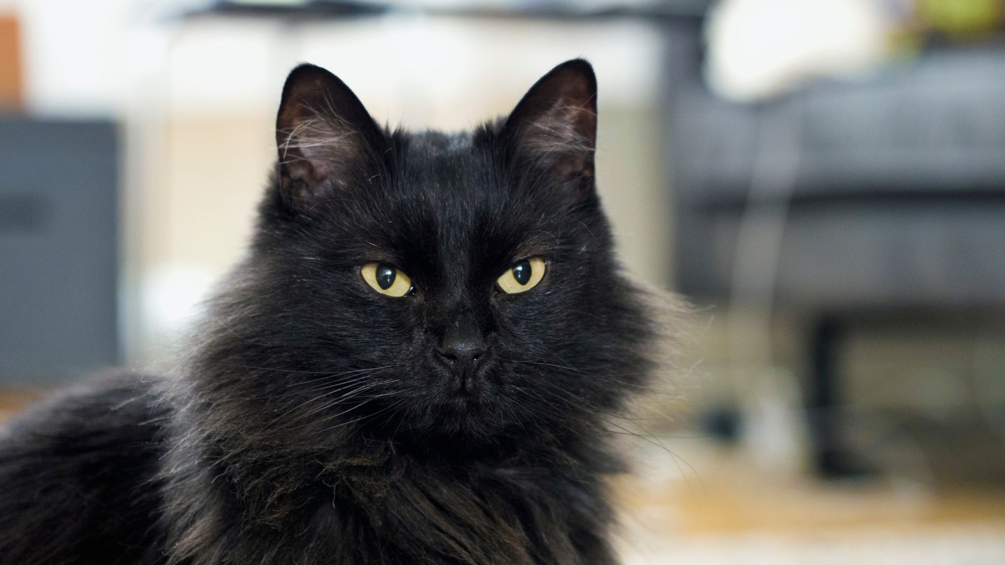 Norwegian Forest Cat - Full Profile, History, and Care