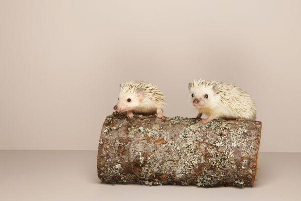 2 hedgehogs on log, studio shot