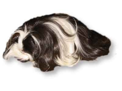 Coronet Guinea Pig - Mitchell