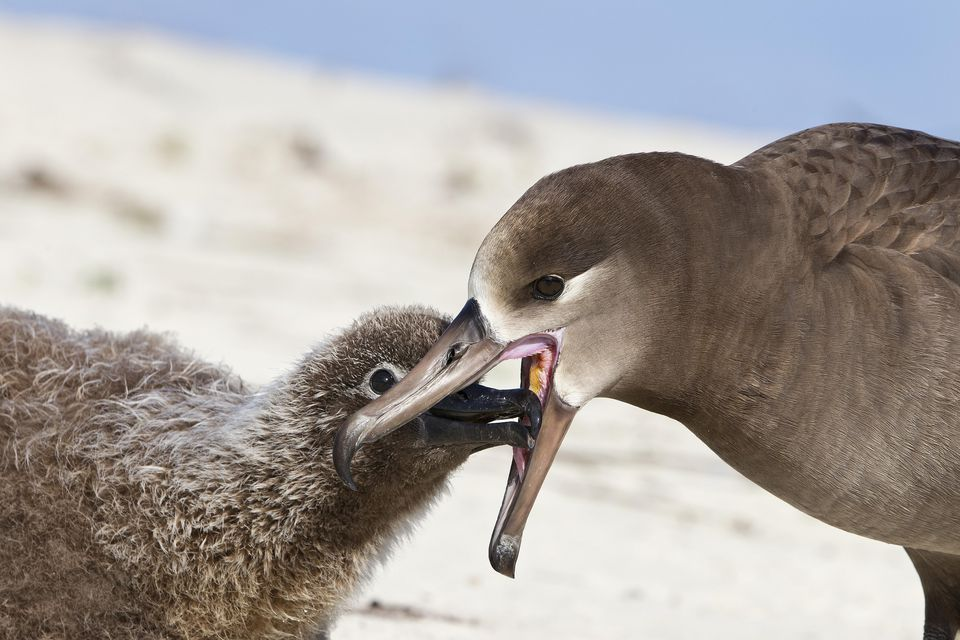 Black-footed albatross regurgitating food
