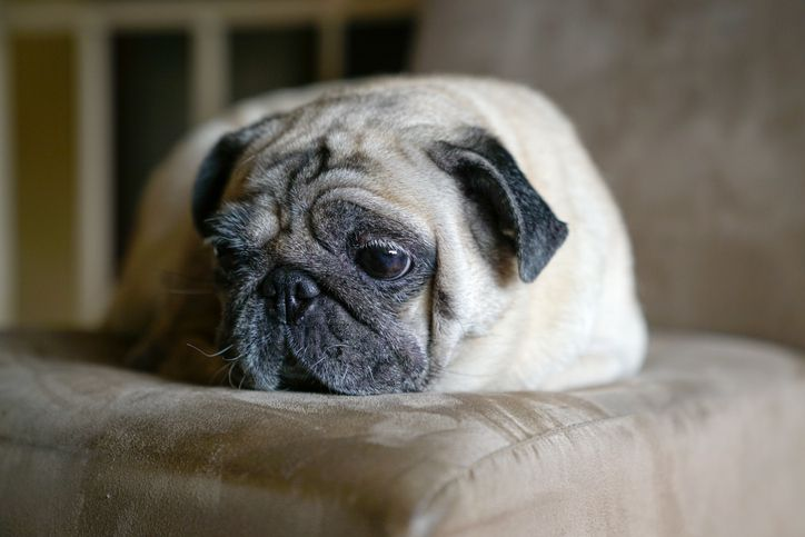 a senior pug on a sofa