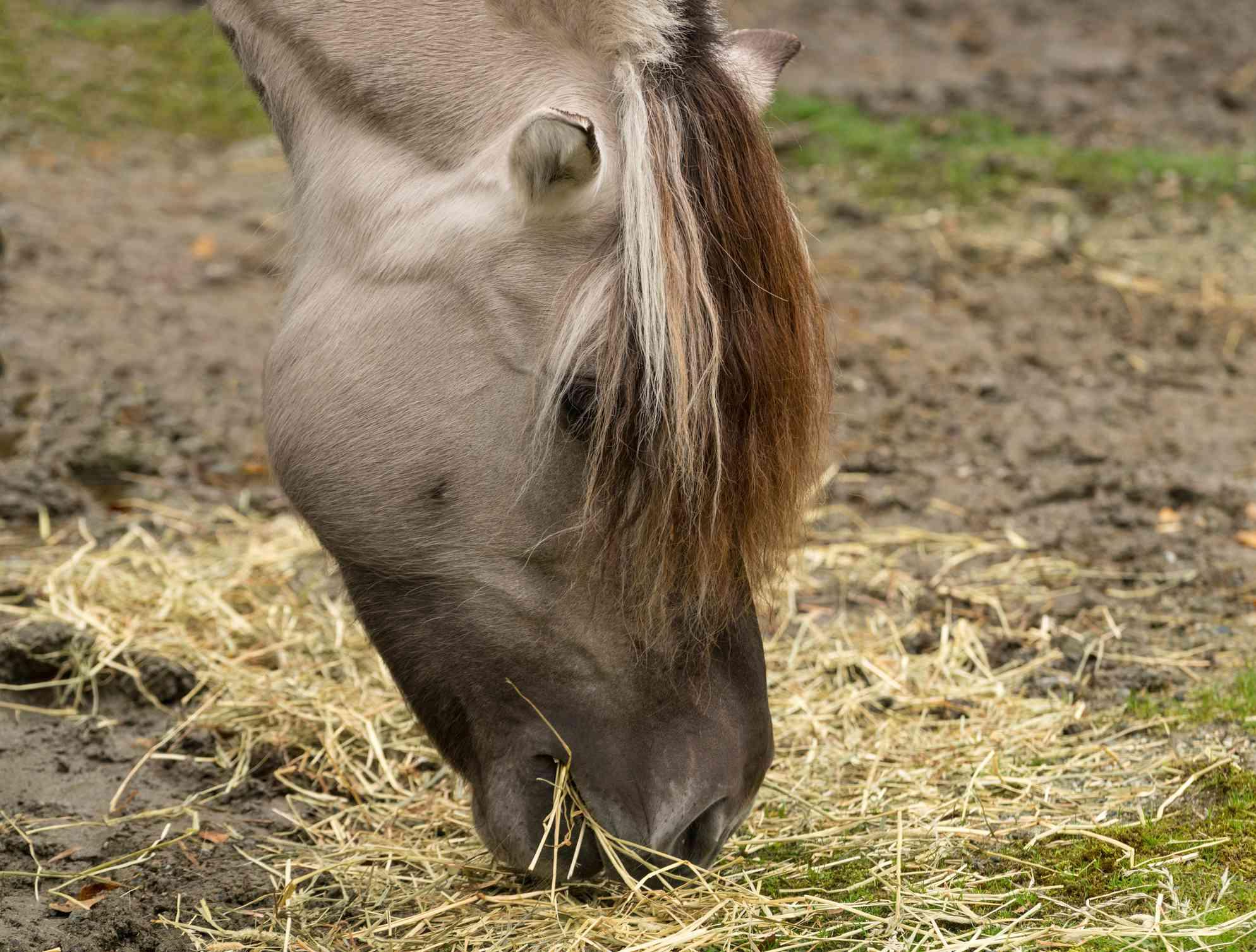 Un caballo fiordo gris más oscuro comiendo heno