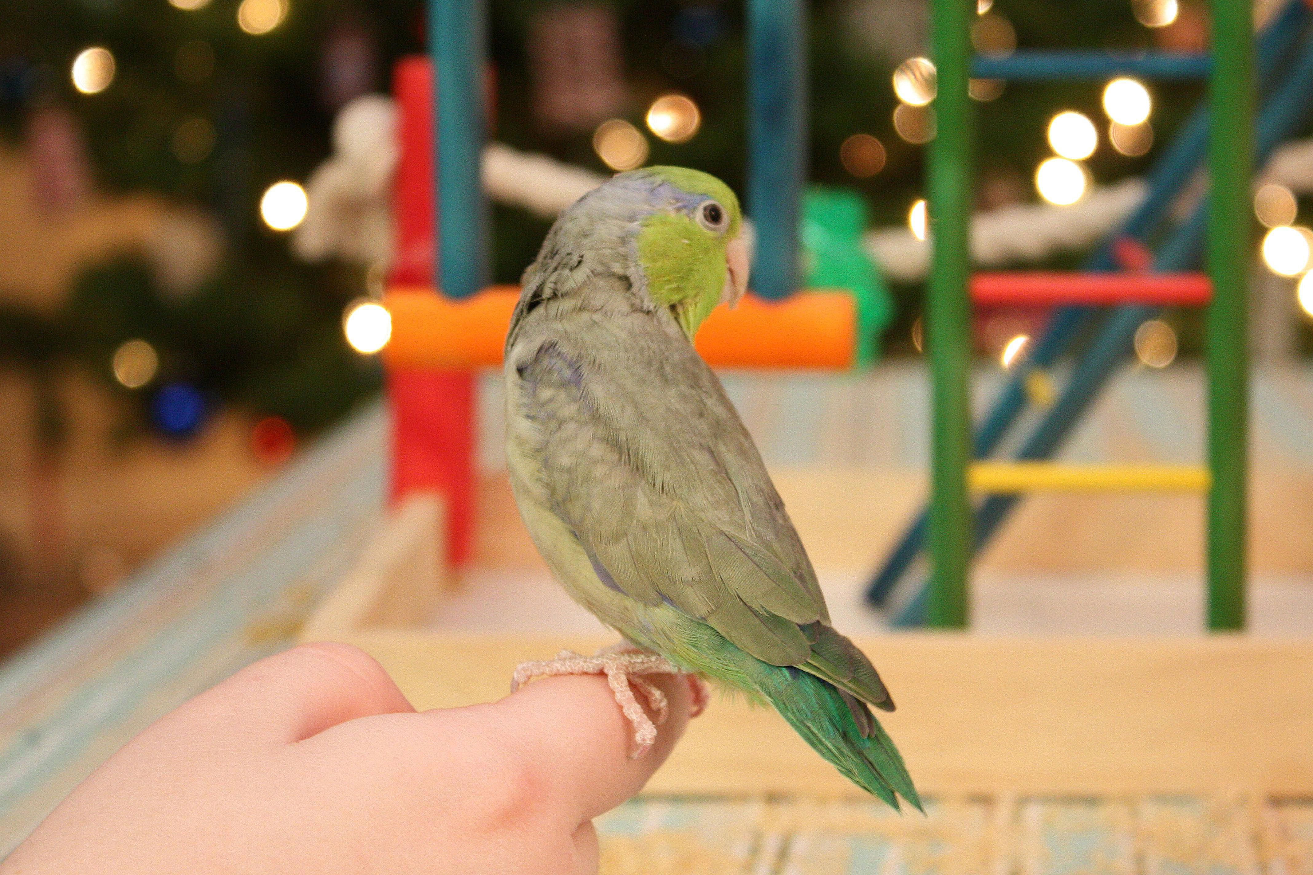 Green parrotlet sitting on a person's finger