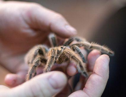 person holding a tarantula