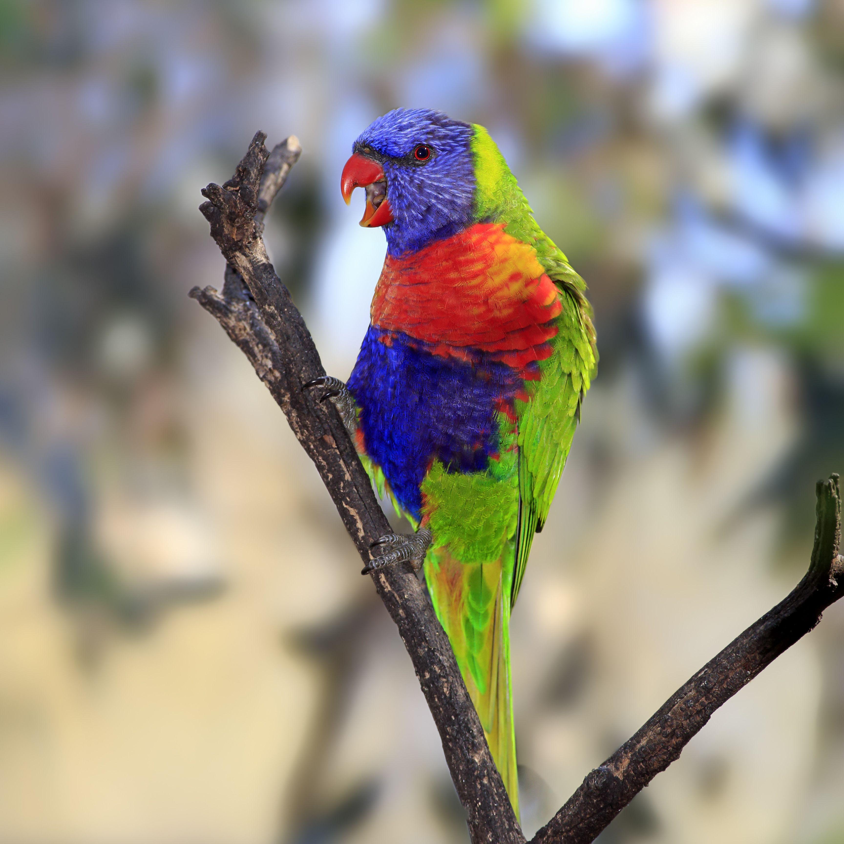 Rainbow Lorikeet -Trichoglossus haematodus-, adult bird perched on a tree, calling, South Australia, Australia