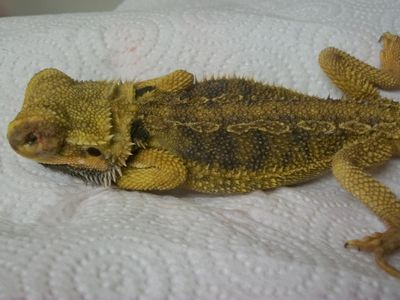 11 Types of Bearded Dragon Morphs