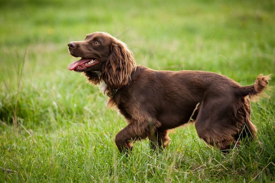 Boykin Spaniel smiling in the grass.
