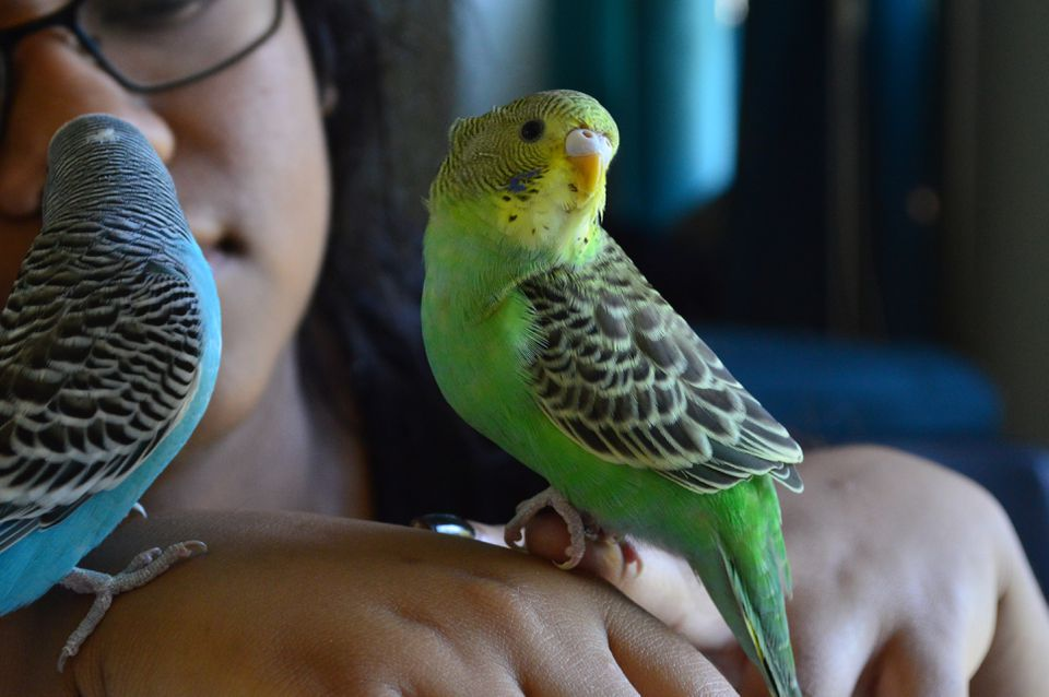 Close-up of Woman Holding Budgerigars
