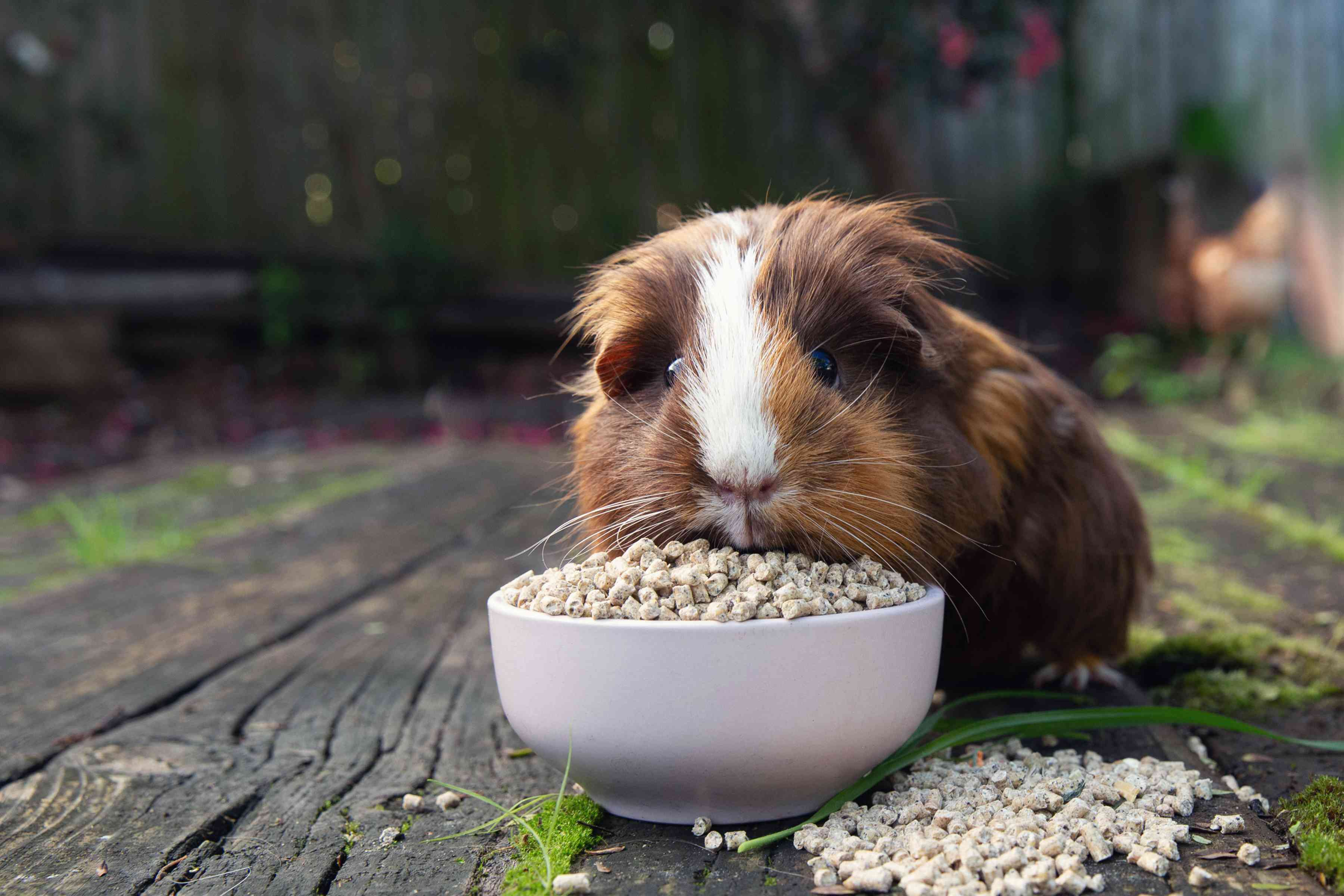 Brown and white guinea pig eating store-bought food from small bowl