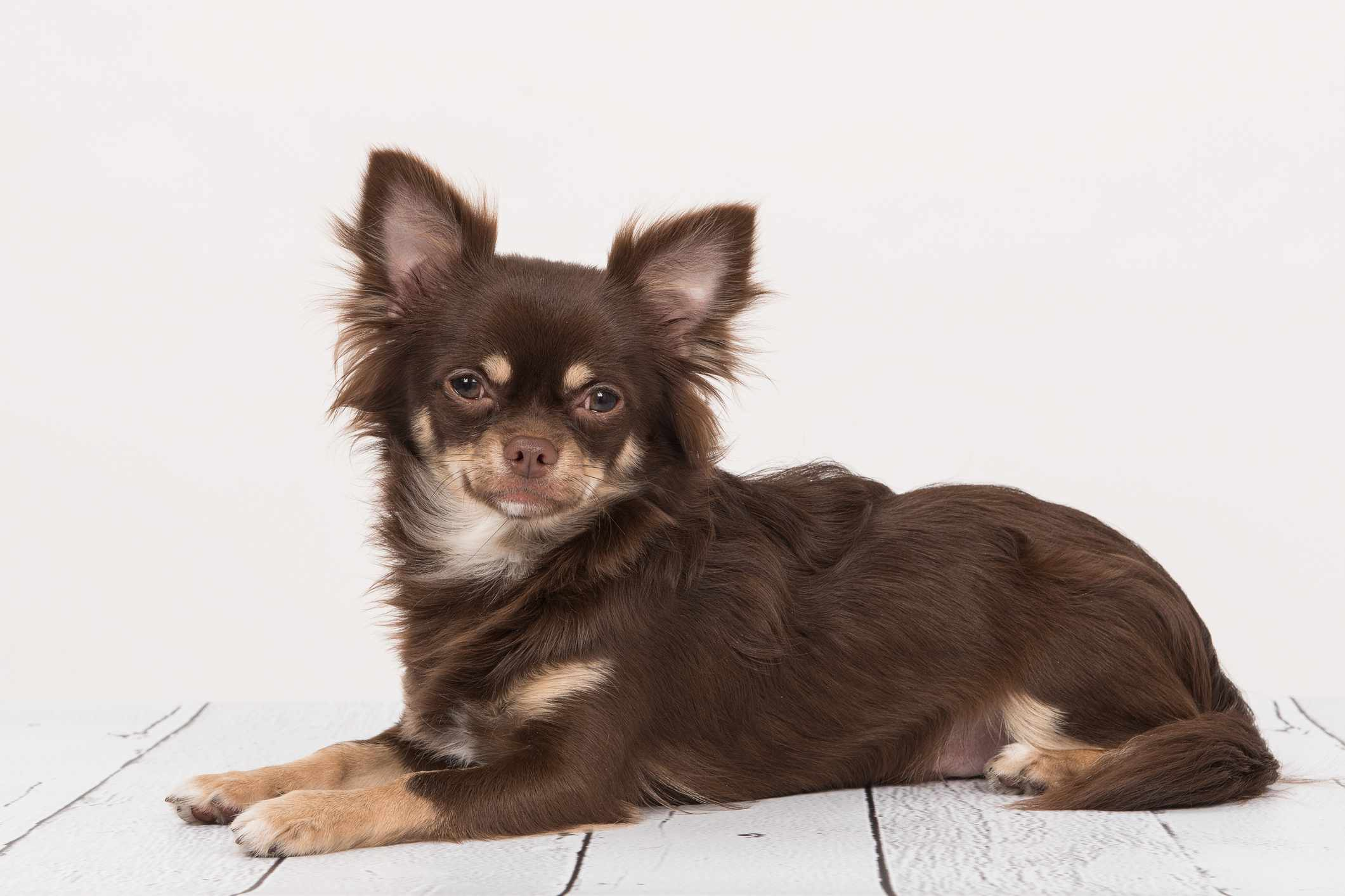 Brown long-haired Chihuahua sitting on floor