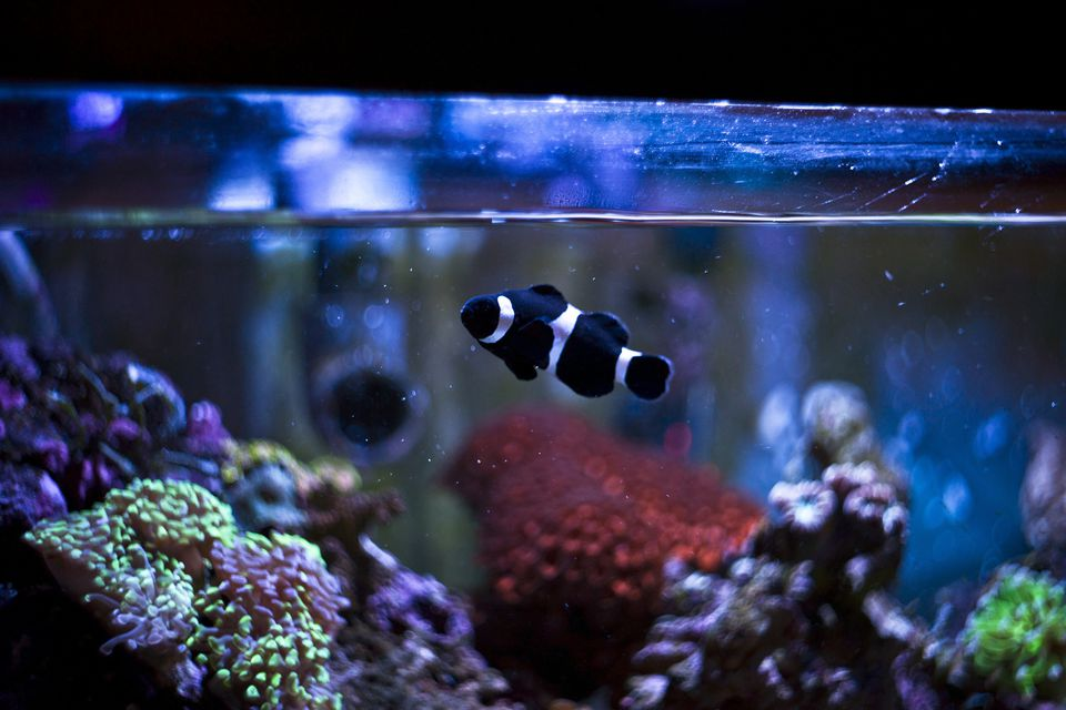 Black and white striped fish in a tank