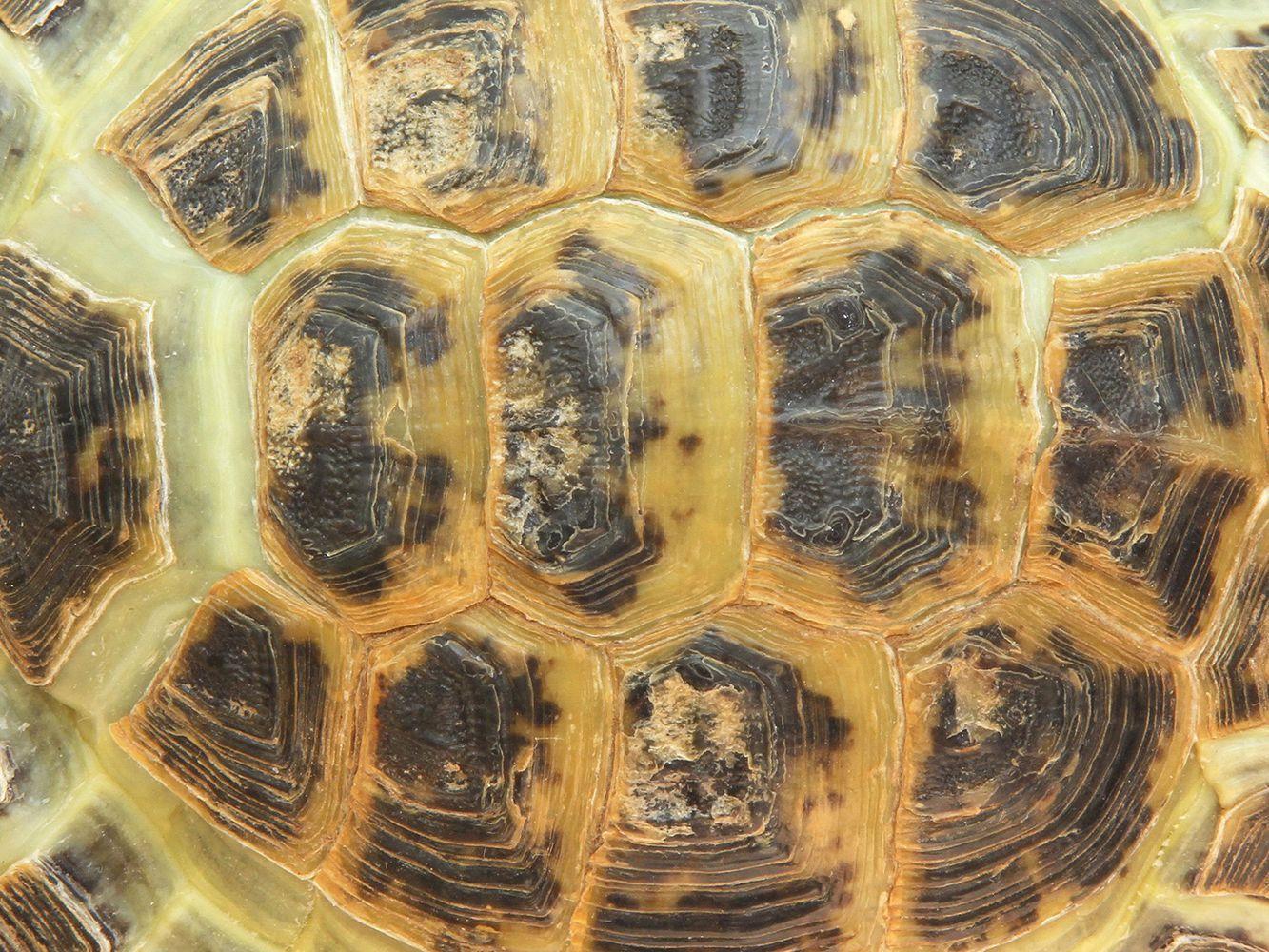Turtle And Tortoise Shells,Pet Tortoise Breeds