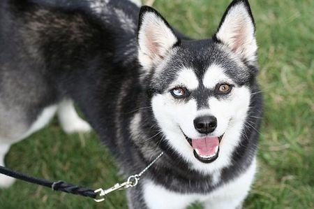 Alaskan Klee Kai Dog Breed Profile