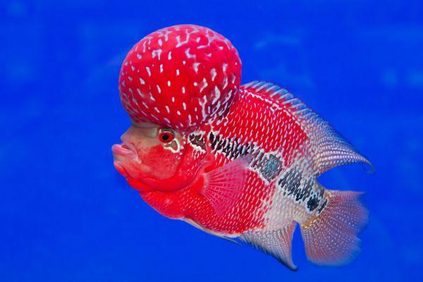 Male Flower Horn Cichlid