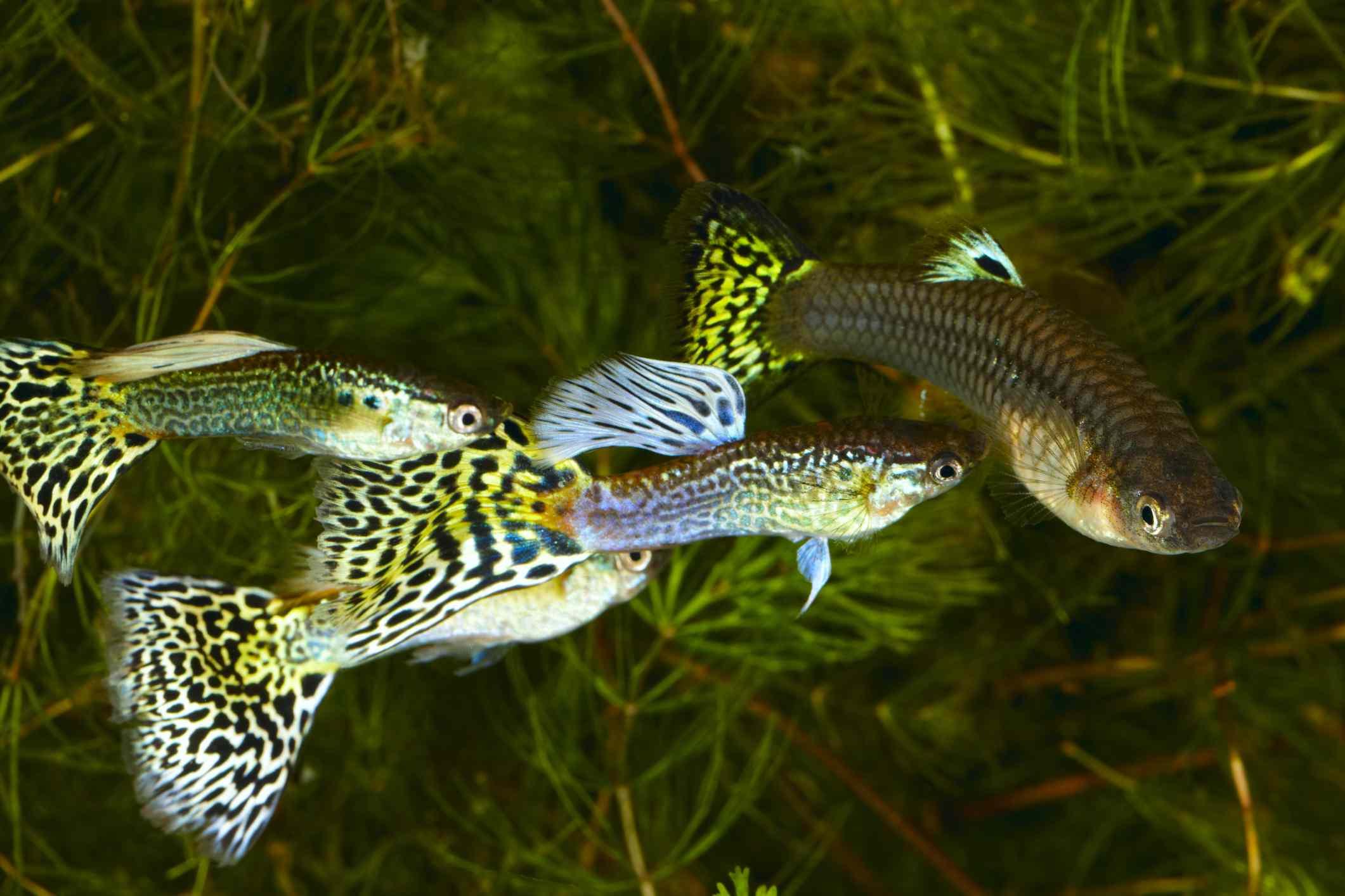 Three male and one female guppy fish