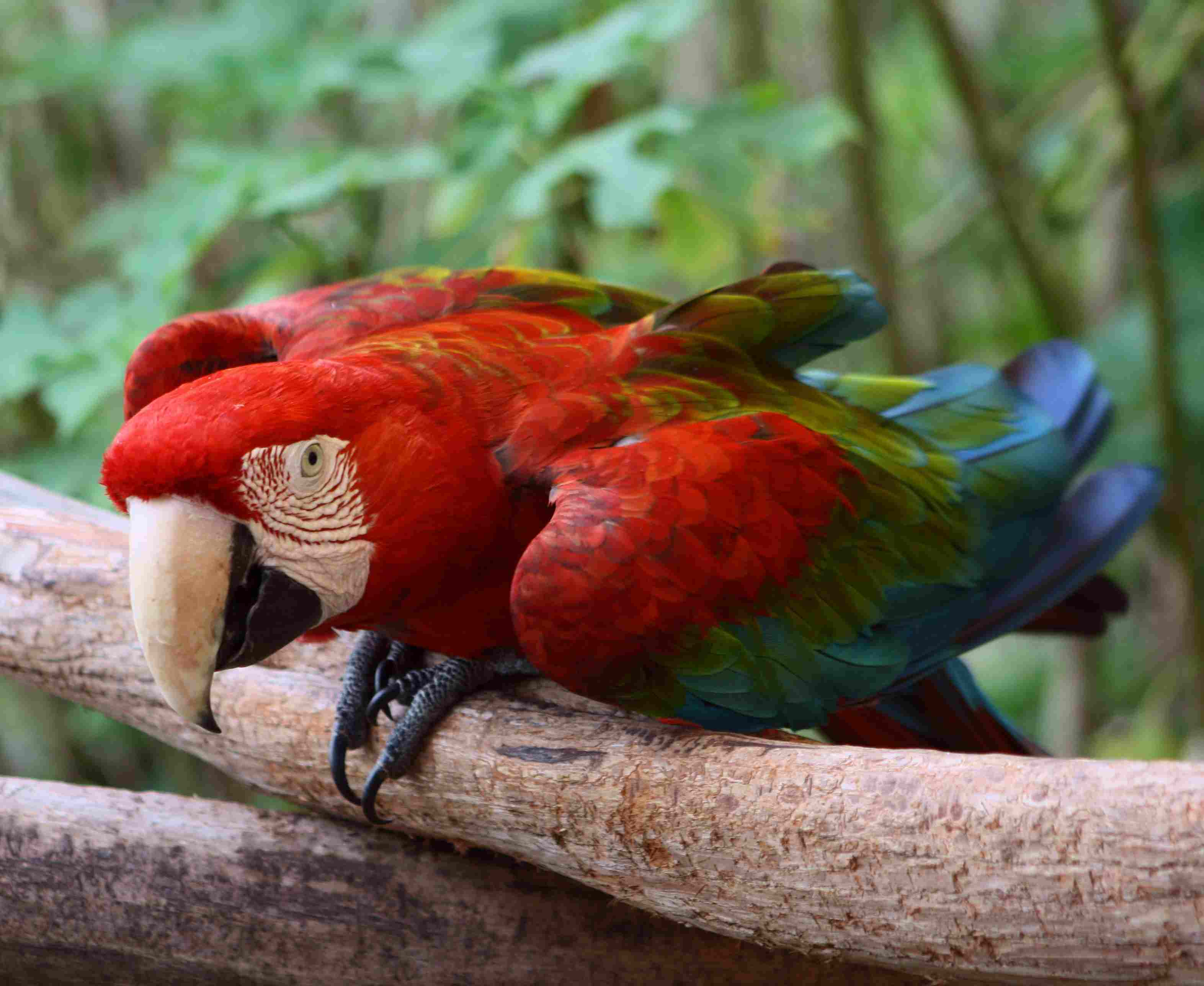 red-and-green macaw on a branch