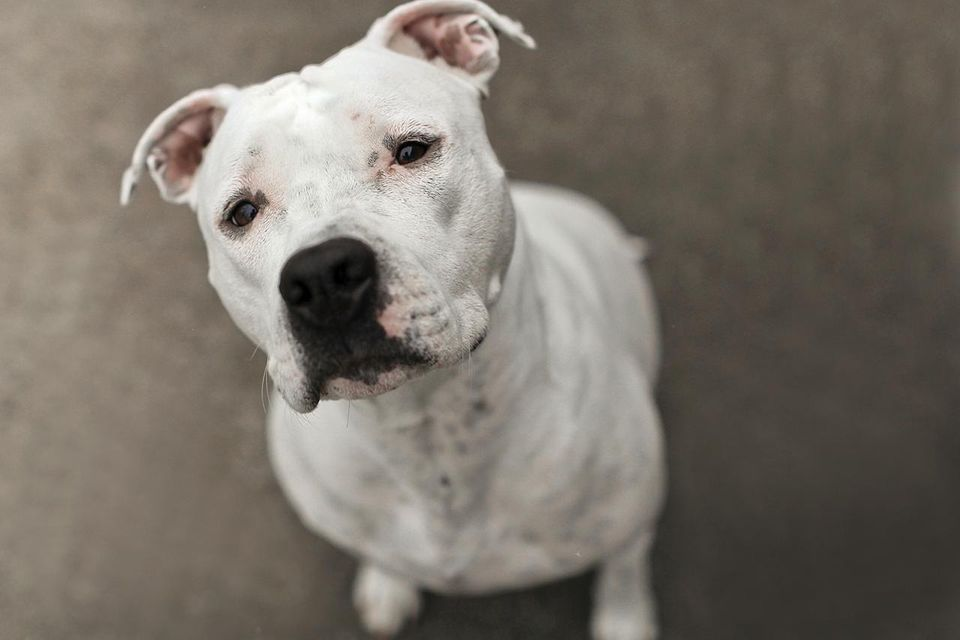 Close up of white pit bull sitting.