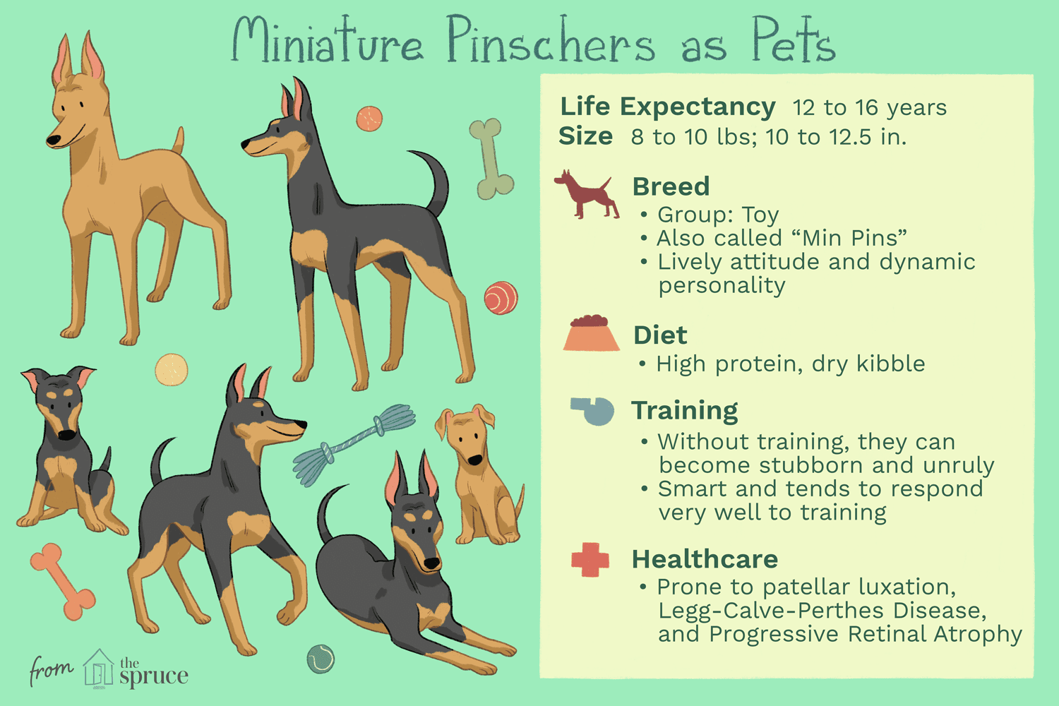 Miniature Pinscher Min Pin Full