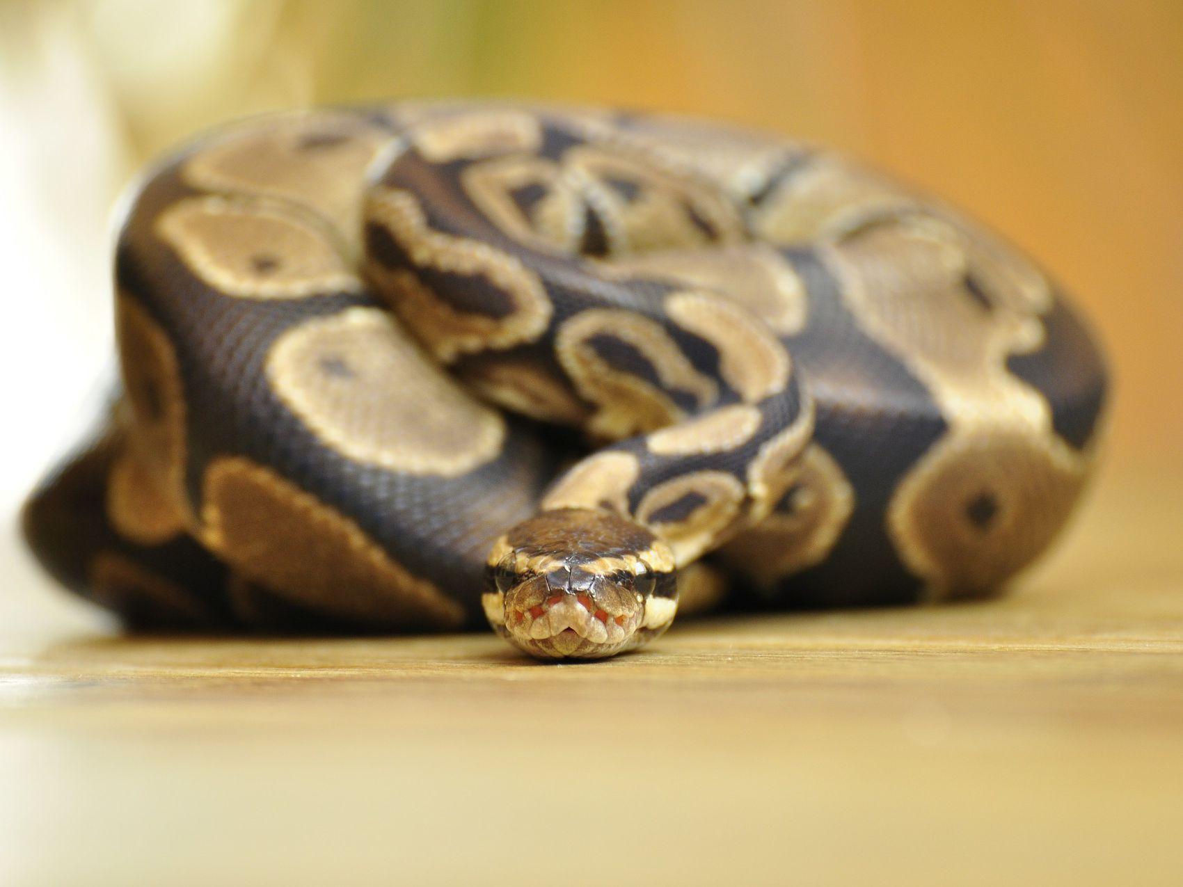 Feeding Your Pet Ball Pythons