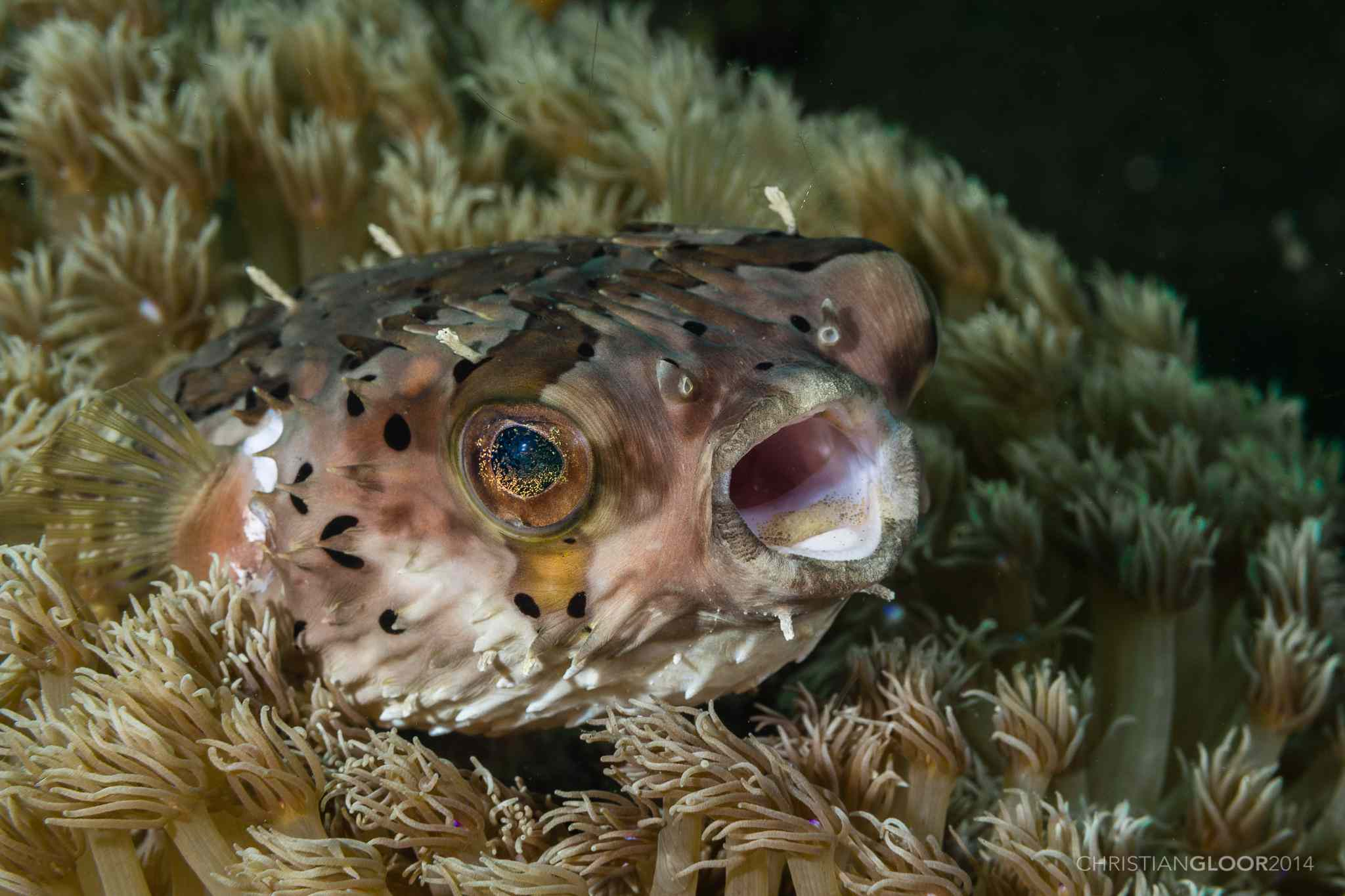 Freckled Porcupinefish (Diodon holocanthus), Wakatobi Dive Resort, Indonesia
