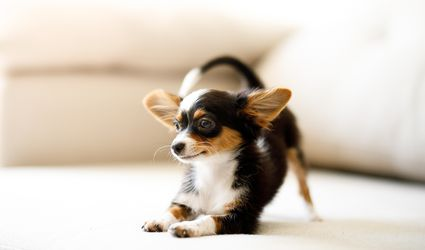 Tri-colored long-haired Chihuahua puppy stretching on a couch.