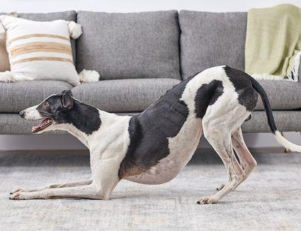 a greyhound taking a bow