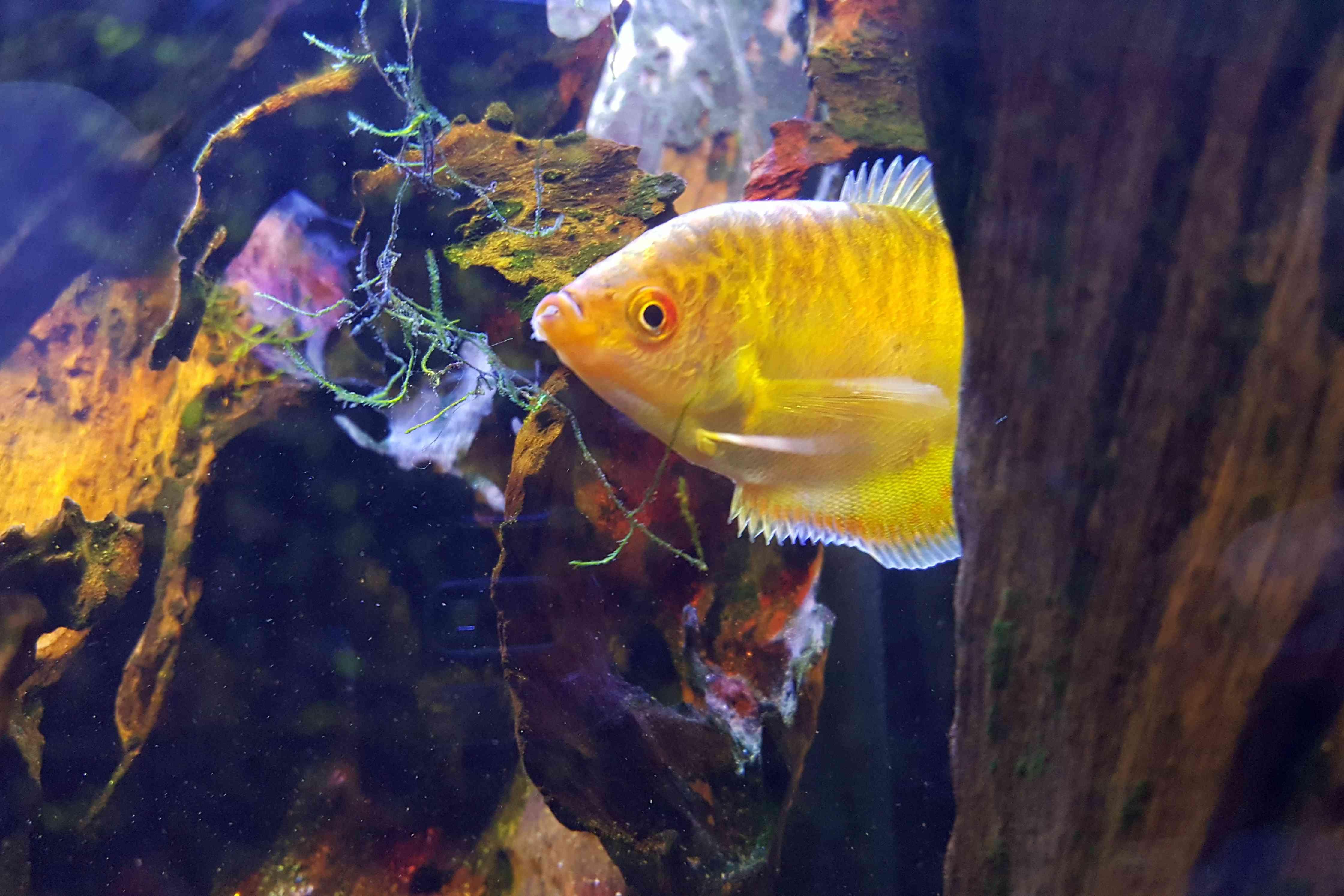 Gold gourami in an aquarium