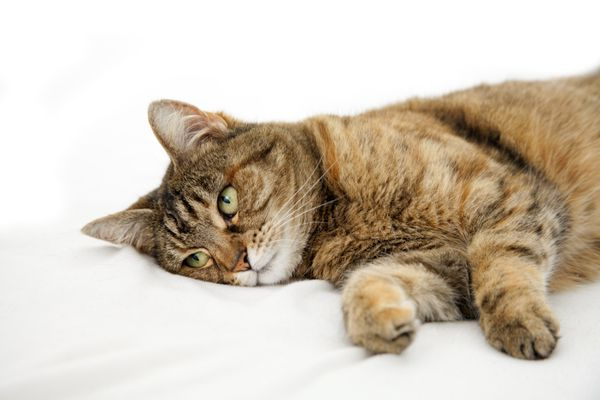 Domestic cat lying on bed