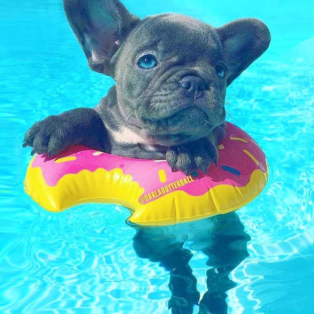 Bulldog swimming in pool