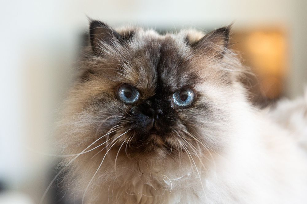 Himalayan cat's face with light blue eyes and brown fur surrounded by tan fur closeup