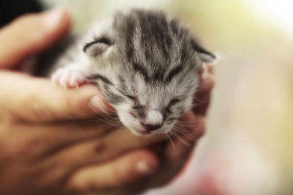 Tiny grey tabby kitten in hands