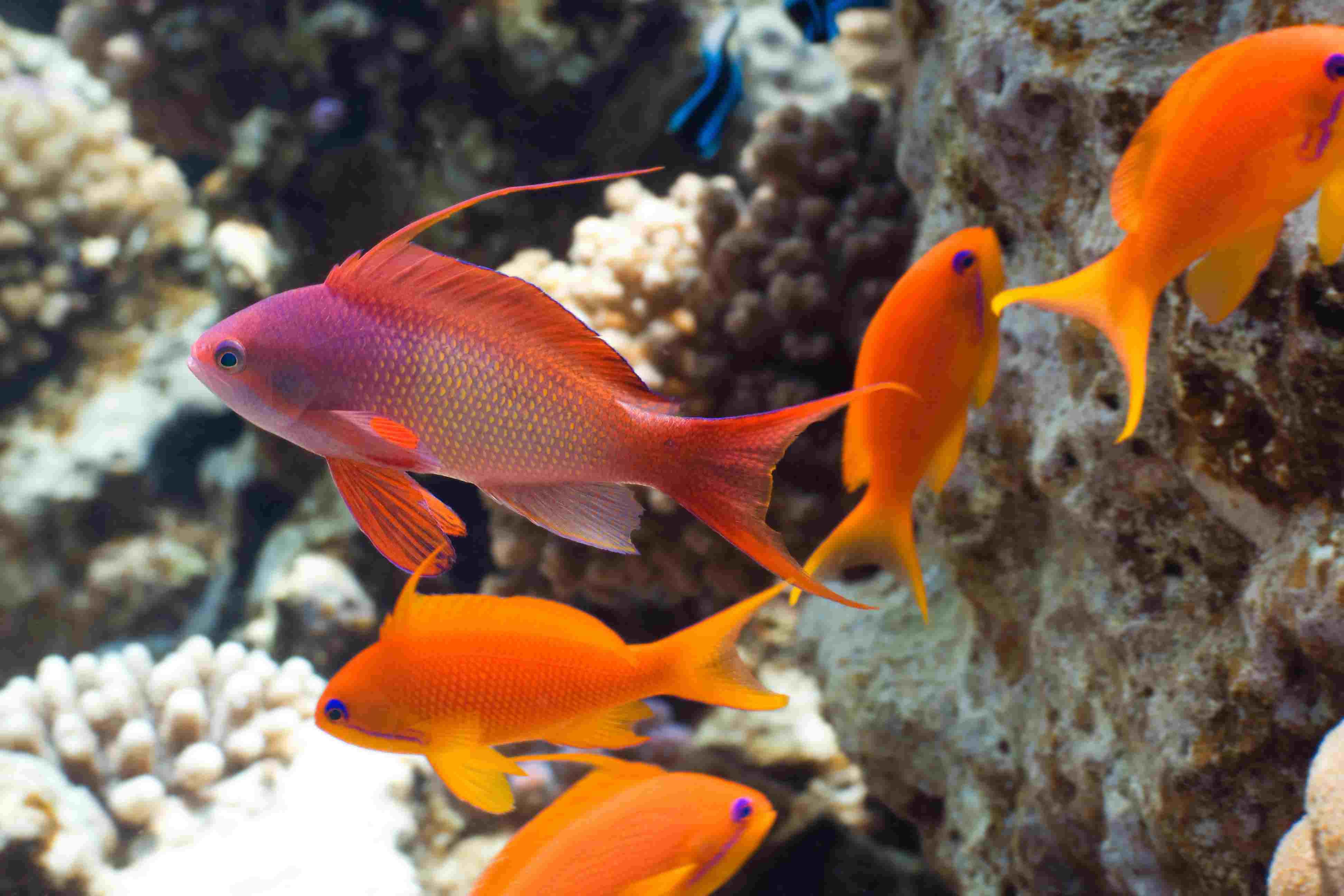 Tropical fish Anthias