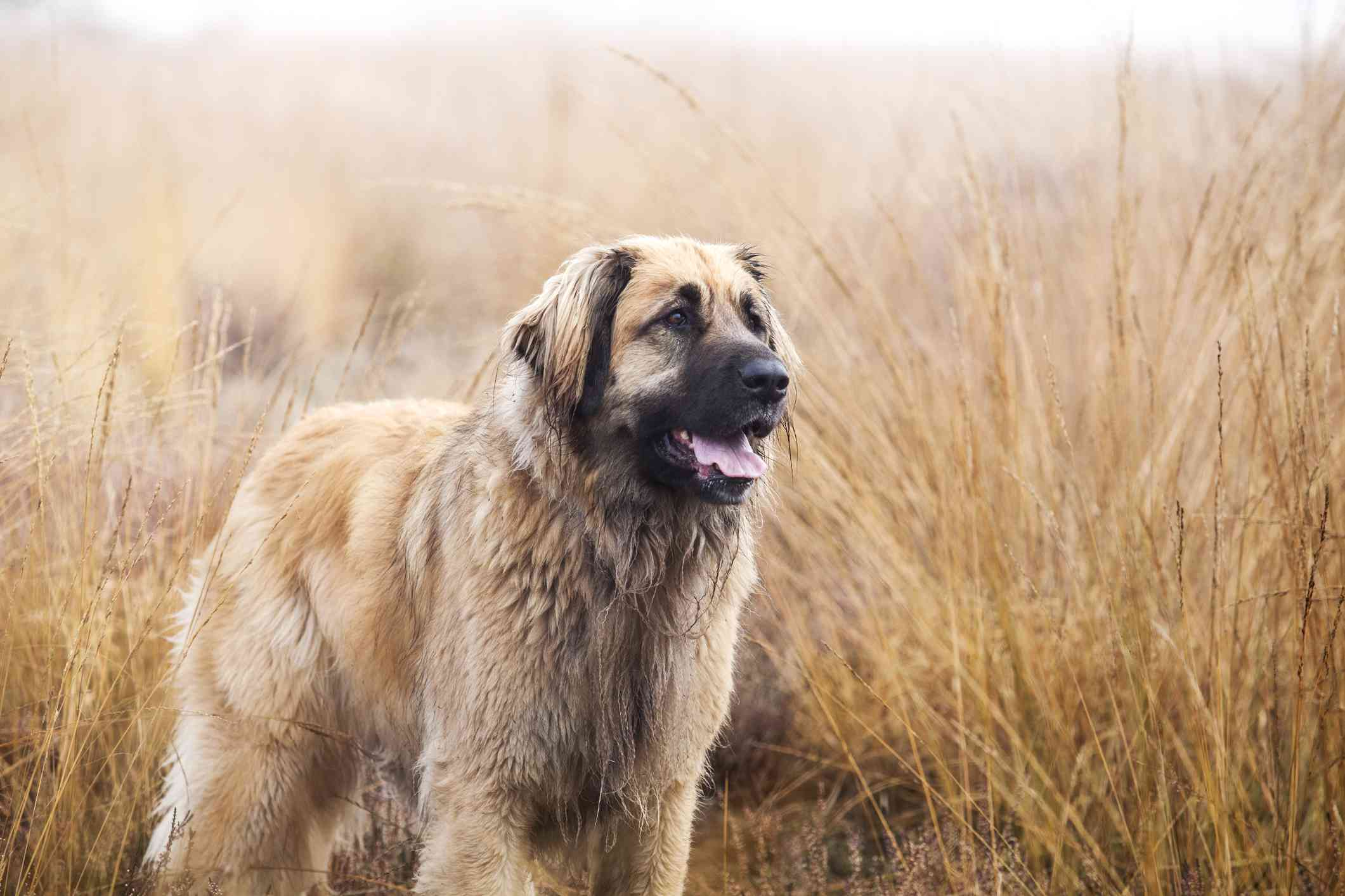 Leonberger in a field of tall grass