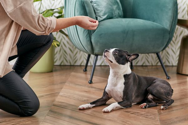 person training a Boston Terrier