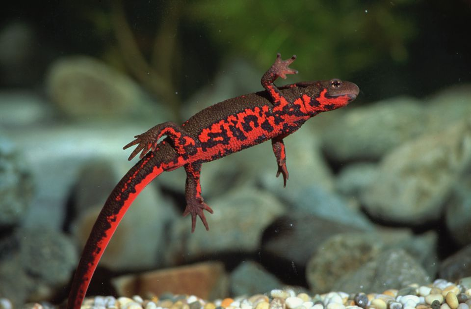Japanese fire belly newt underwater