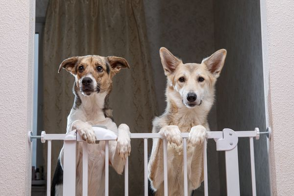 Dogs looking over a pet gate