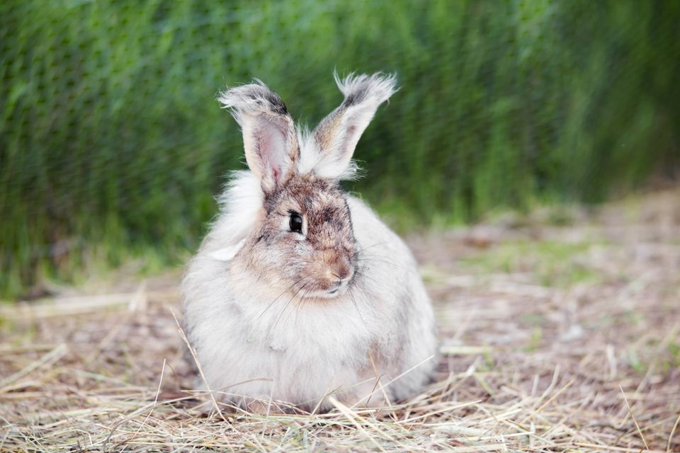 Angora rabbit on straw