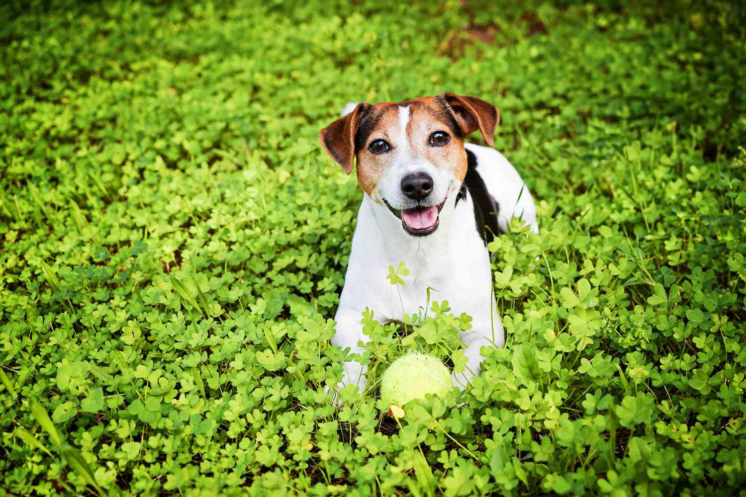 terrier breed group - dog in clovers