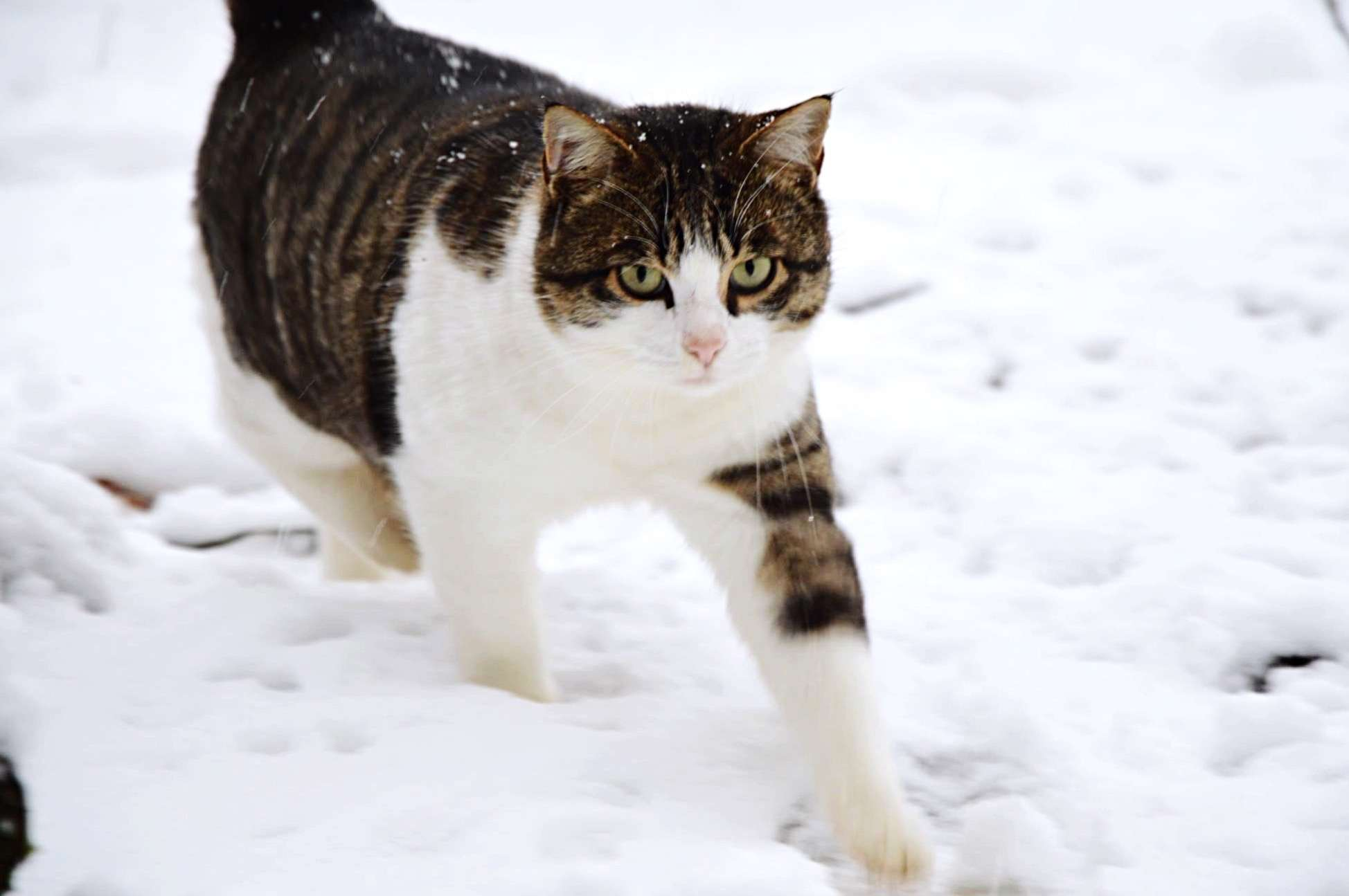 Portrait Of Cat Walking On Snow Covered Field
